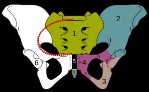 skeletal_pelvis-pubis-svg